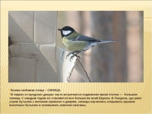 Всеми любимая птица – СИНИЦА. В парках и городских дворах часто встречается п