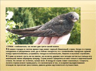 СТРИЖ —небожитель: он летает две трети своей жизни. В наших городах в теплое