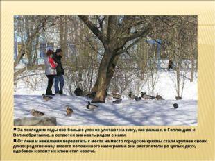 За последние годы все больше уток не улетают на зиму, как раньше, в Голланди