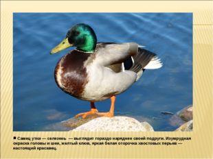 Самец утки — селезень — выглядит гораздо наряднее своей подруги. Изумрудная