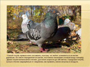 Сизый голубь привык жить на камнях, поэтому не любит усаживаться на ветви дер