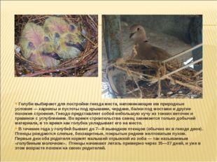 Голуби выбирают для постройки гнезда места, напоминающие им природные услови