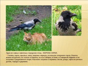 Одна из самых заметных городских птиц – ВОРОНА СЕРАЯ. Голова, горло, крылья,