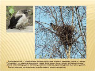 Ранней весной, с появлением первых проталин, вороны начинают строить гнезда.
