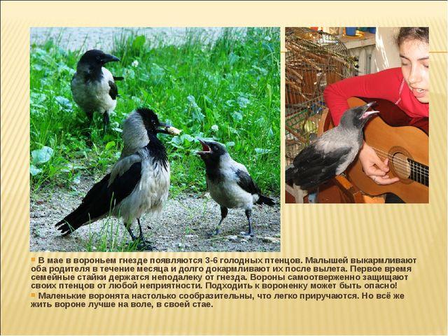В мае в вороньем гнезде появляются 3-6 голодных птенцов. Малышей выкармливаю...