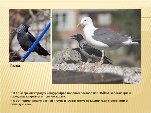 В приморских городах конкуренцию воронам составляют ЧАЙКИ, залетающие в горо...