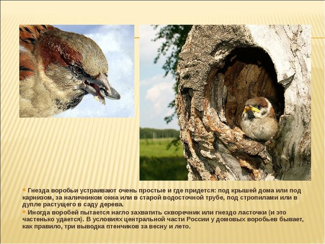 Гнезда воробьи устраивают очень простые и где придется: под крышей дома или...