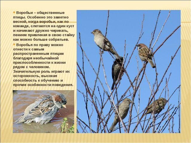 Воробьи – общественные птицы. Особенно это заметно весной, когда воробьи, ка...