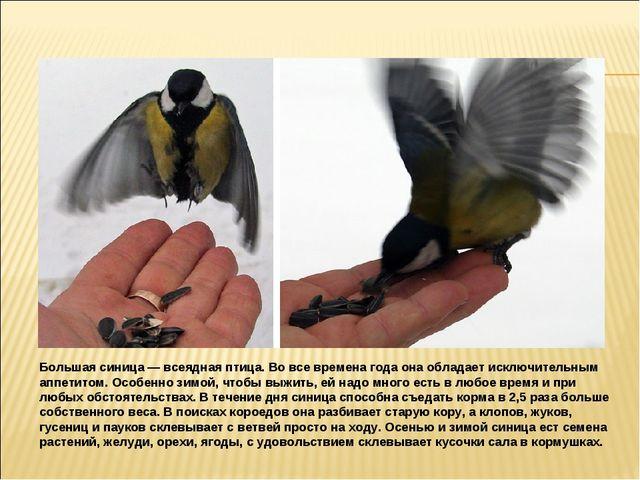 Большая синица — всеядная птица. Во все времена года она обладает исключитель...
