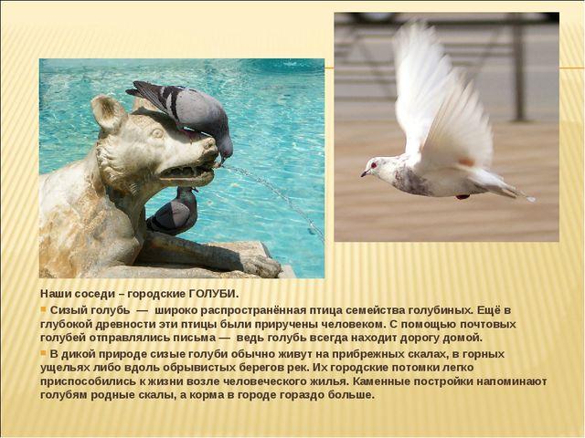 Наши соседи – городские ГОЛУБИ. Сизый голубь — широко распространённая птица...