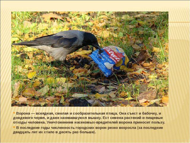 Ворона — всеядная, смелая и сообразительная птица. Она съест и бабочку, и до...