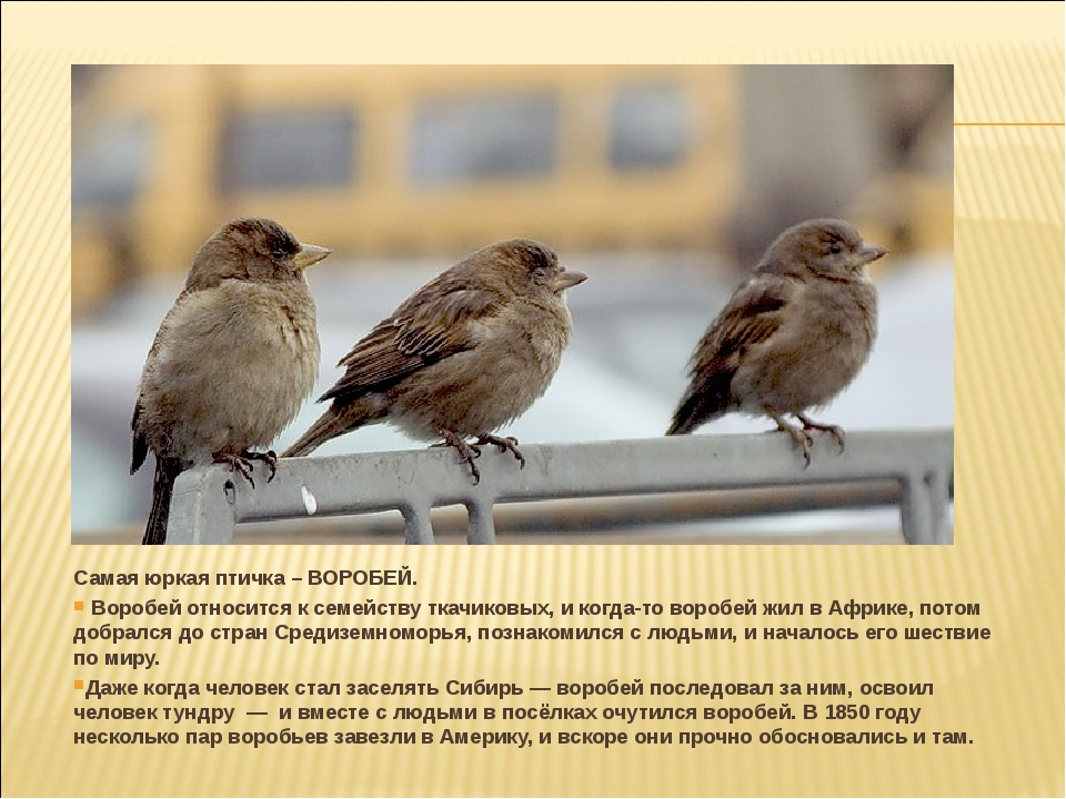 Самая юркая птичка – ВОРОБЕЙ. Воробей относится к семейству ткачиковых, и ког...