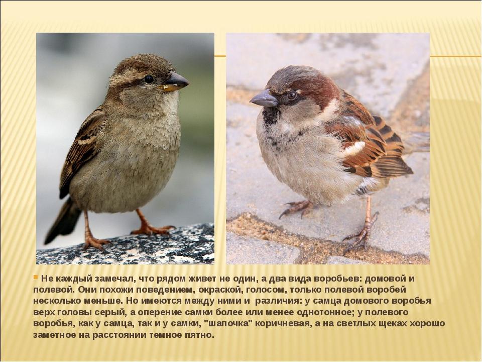Не каждый замечал, что рядом живет не один, а два вида воробьев: домовой и п...