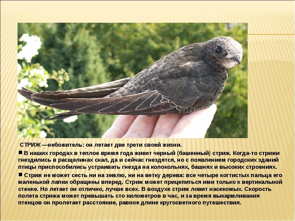 СТРИЖ —небожитель: он летает две трети своей жизни. В наших городах в теплое...