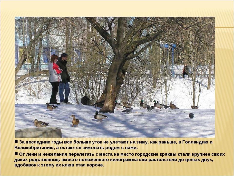 За последние годы все больше уток не улетают на зиму, как раньше, в Голланди...