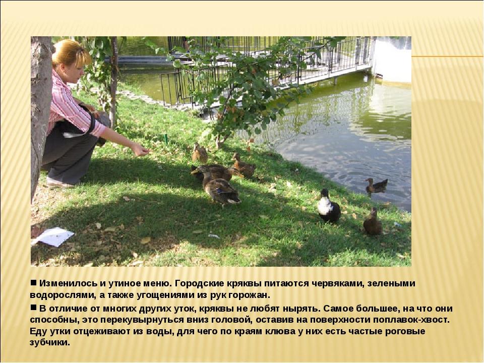 Изменилось и утиное меню. Городские кряквы питаются червяками, зелеными водо...