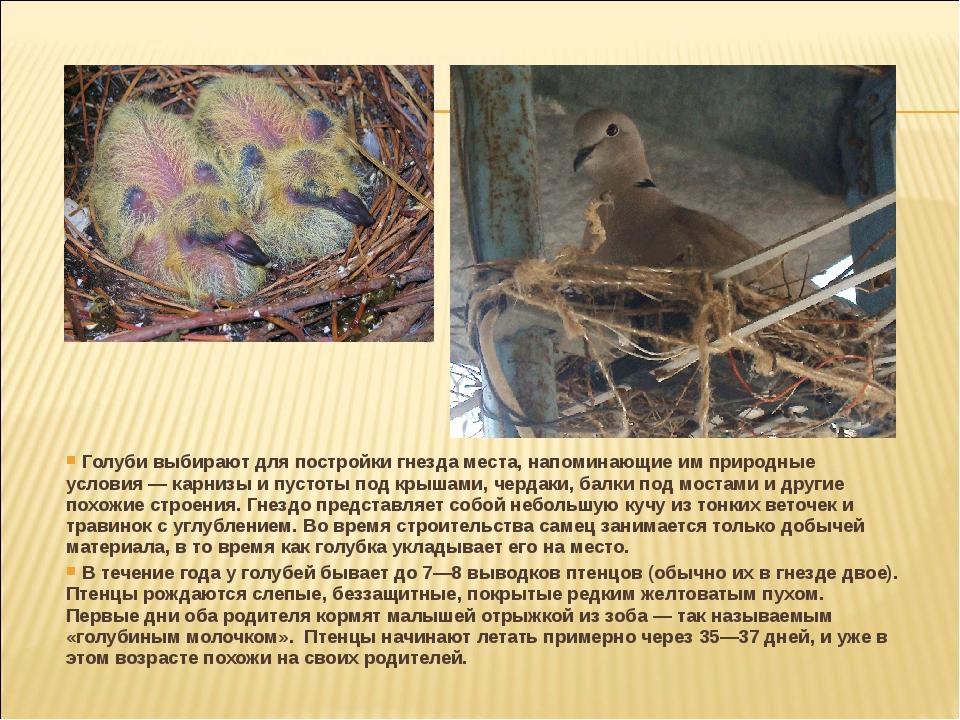 Голуби выбирают для постройки гнезда места, напоминающие им природные услови...