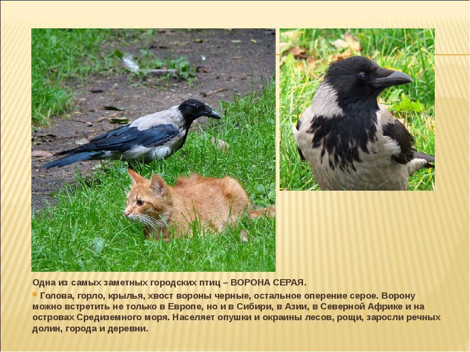 Одна из самых заметных городских птиц – ВОРОНА СЕРАЯ. Голова, горло, крылья,...