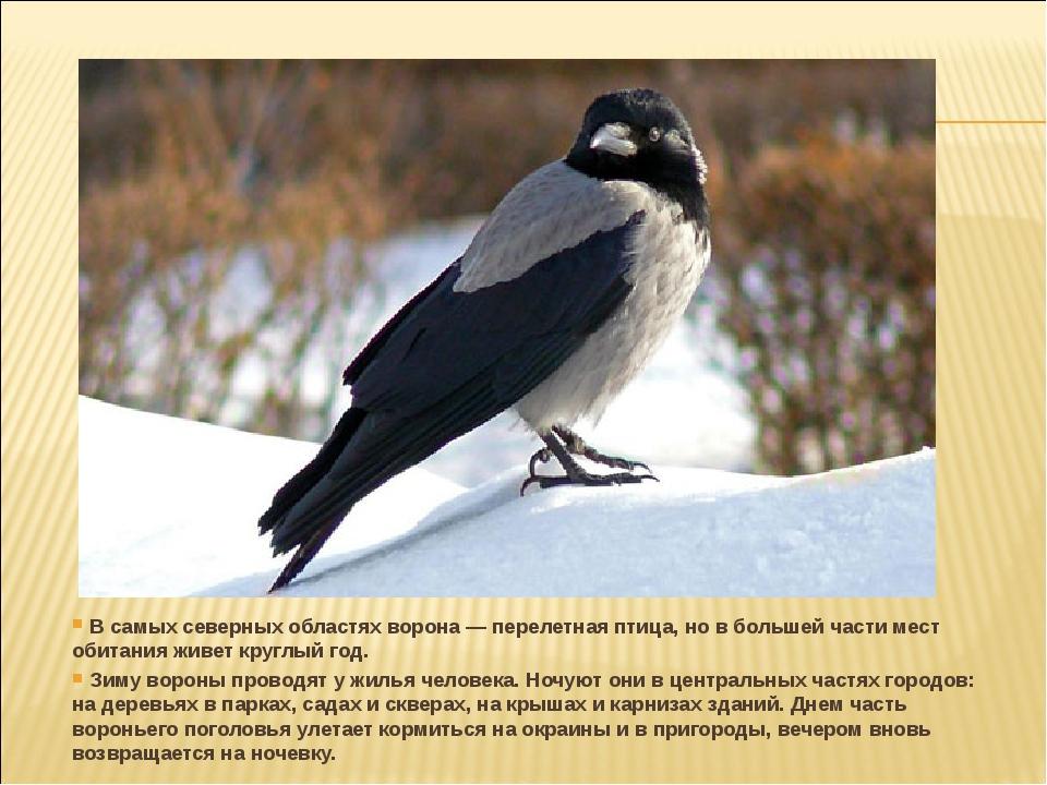 В самых северных областях ворона — перелетная птица, но в большей части мест...