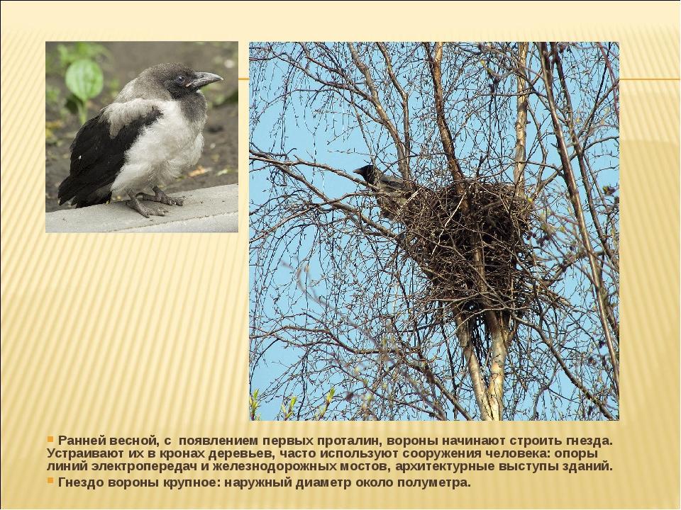 Ранней весной, с появлением первых проталин, вороны начинают строить гнезда....
