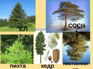ЕЛЬ СОСНА лиственница кедр пихта