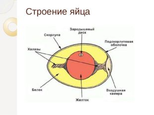 Строение яйца
