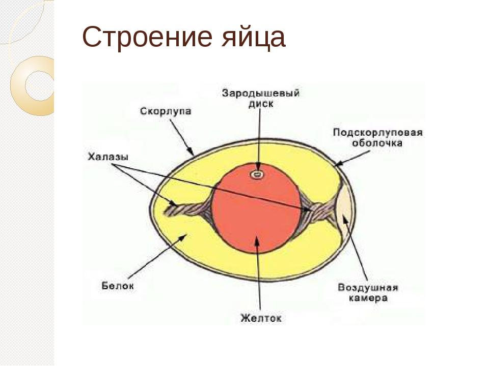 Схемы строения яйца птицы