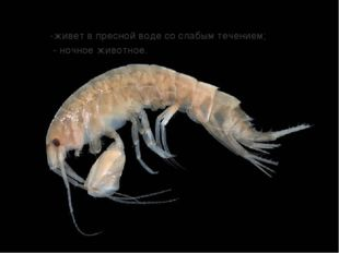 -живет в пресной воде со слабым течением; - ночное животное.