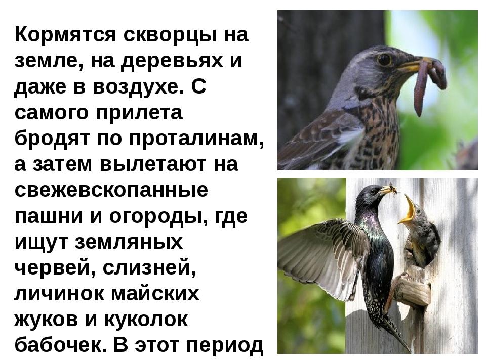 Кормятся скворцы на земле, на деревьях и даже в воздухе. С самого прилета бр...