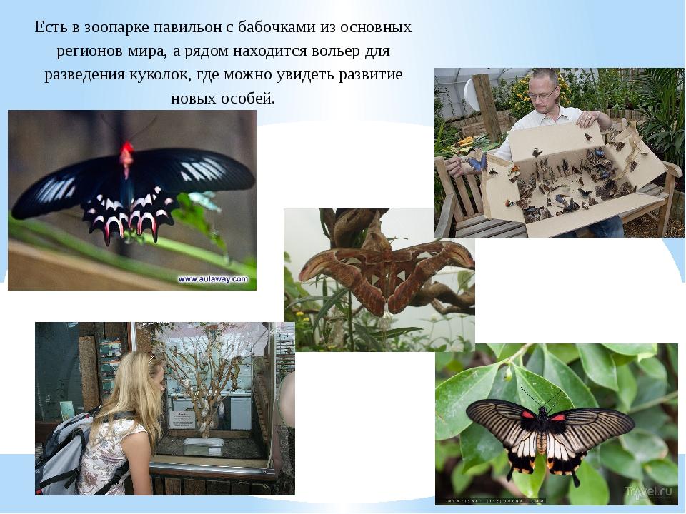 Есть в зоопарке павильон с бабочками из основных регионов мира, а рядом наход...