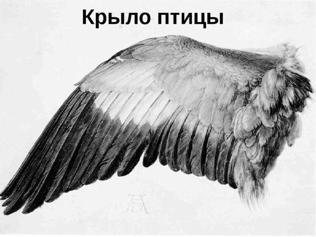 Крыло птицы