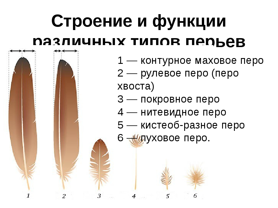 Строение и функции различных типов перьев 1 — контурное маховое перо 2 — руле...