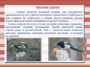 Питание сороки Сорока является всеядной птицей, она употребляет практически в