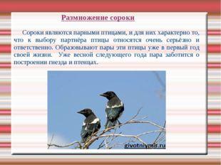 Сороки являются парными птицами, и для них характерно то, что к выбору партн