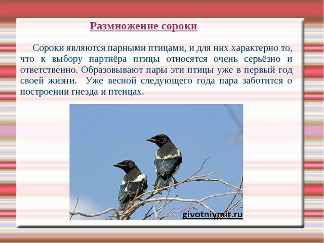 Сороки являются парными птицами, и для них характерно то, что к выбору партн...