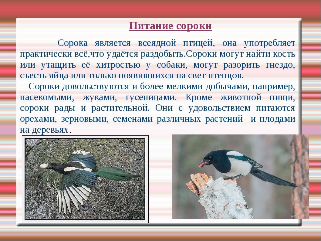 Питание сороки Сорока является всеядной птицей, она употребляет практически в...