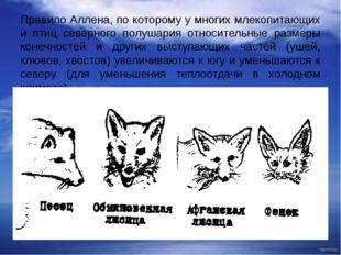 Правило Аллена, по которому у многих млекопитающих и птиц северного полушария