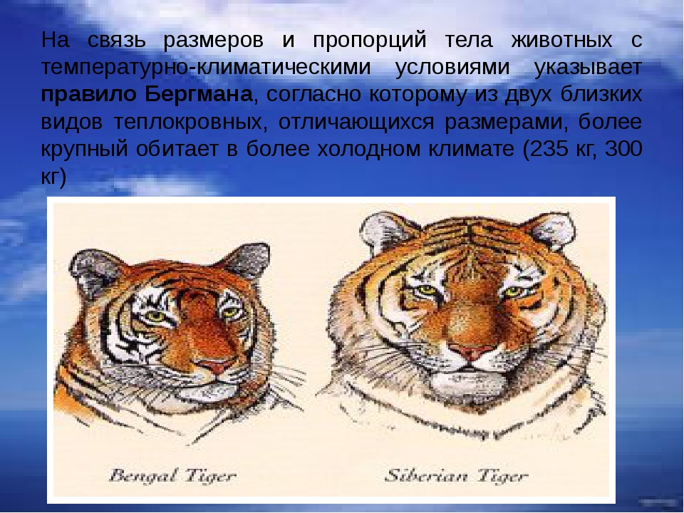 На связь размеров и пропорций тела животных с температурно-климатическими усл...