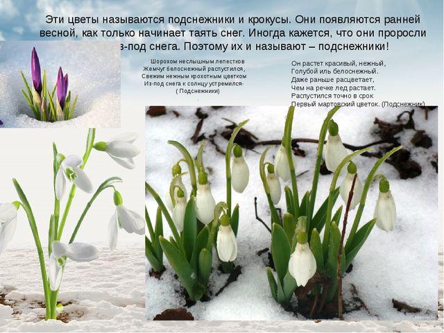 Эти цветы называются подснежники и крокусы. Они появляются ранней весной, как...