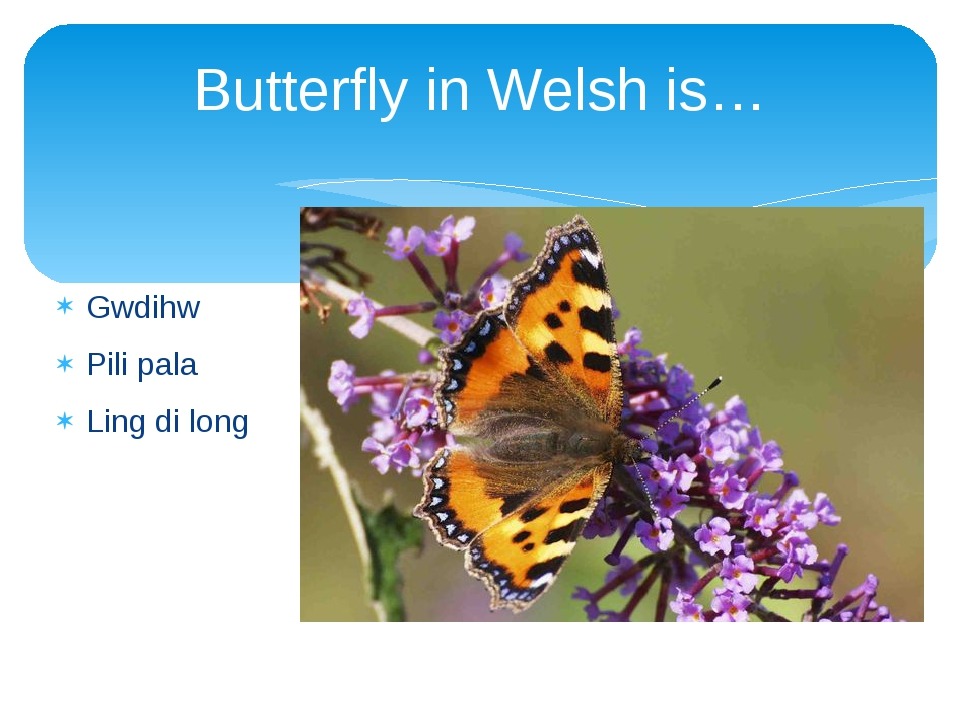 Butterfly in Welsh is… Gwdihw Pili pala Ling di long
