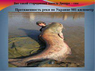 Вот такой стародавний житель Днепра - сом . Протяженность реки по Украине 98