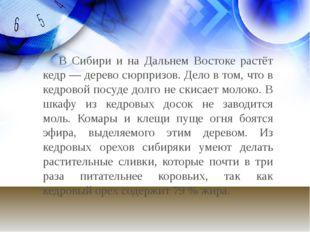 В Сибири и на Дальнем Востоке растёт кедр — дерево сюрпризов. Дело в том, чт