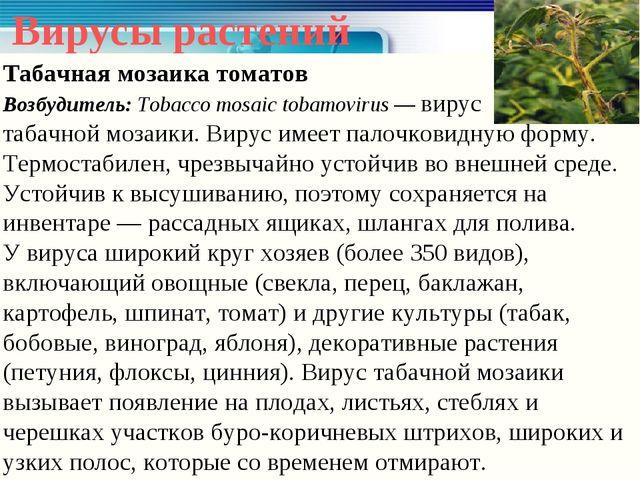 Вирусы растений Табачная мозаика томатов Возбудитель: Tobacco mosaic tobamovi...