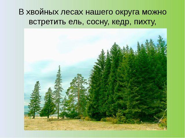 В хвойных лесах нашего округа можно встретить ель, сосну, кедр, пихту, листве...