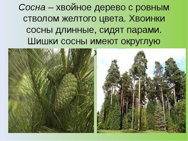Сосна– хвойное дерево с ровным стволом желтого цвета. Хвоинки сосны длинные,...
