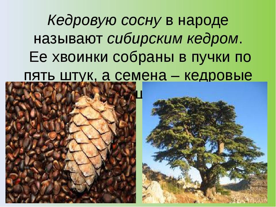 Кедровую соснув народе называютсибирским кедром. Ее хвоинки собраны в пучки...