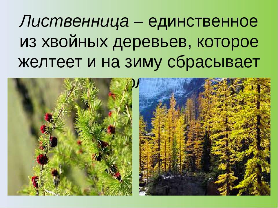 Лиственница– единственное из хвойных деревьев, которое желтеет и на зиму сбр...