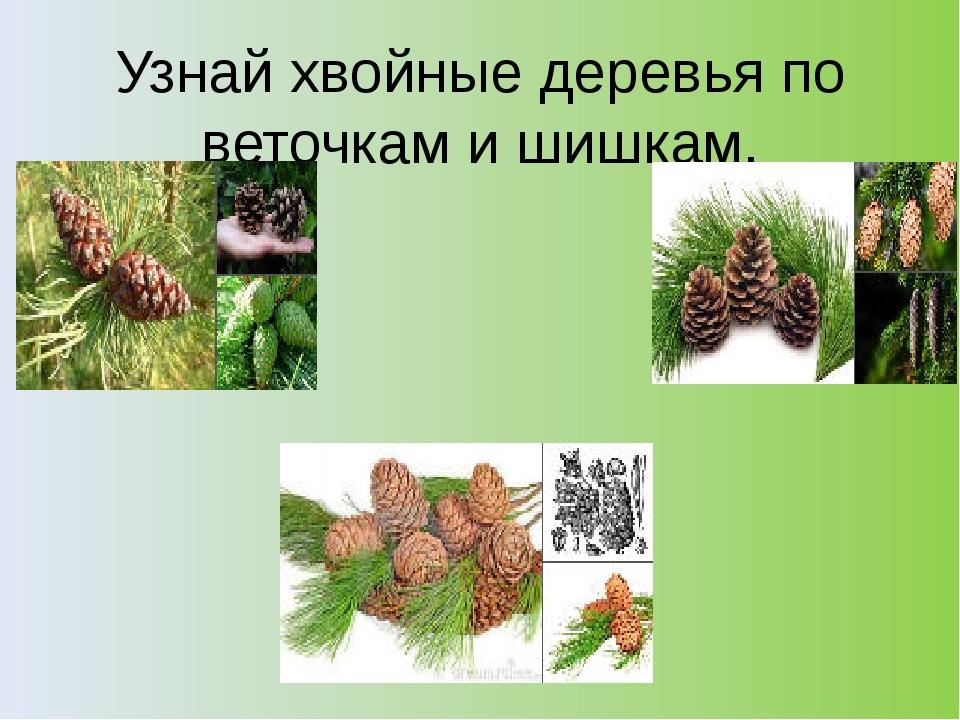 Узнай хвойные деревья по веточкам и шишкам.