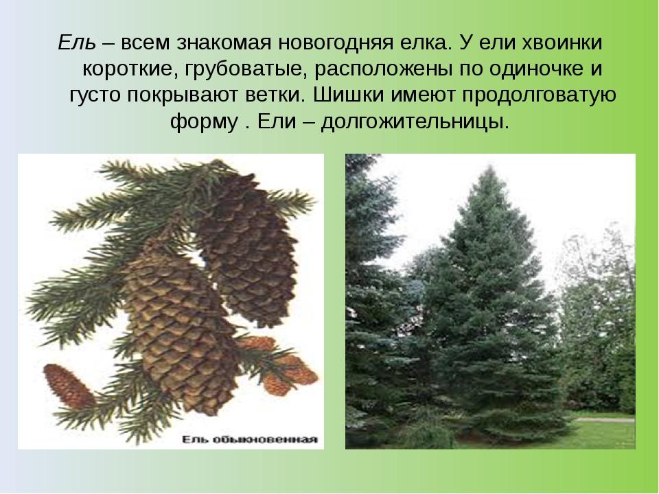 Ель– всем знакомая новогодняя елка. У ели хвоинки короткие, грубоватые, расп...