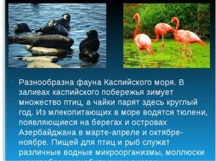 Разнообразна фауна Каспийского моря. В заливах каспийского побережья зимует м